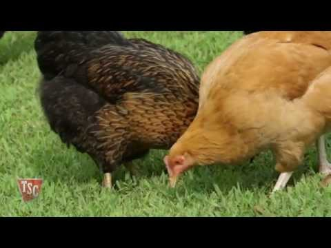 Chicken Feeding and Nutrition