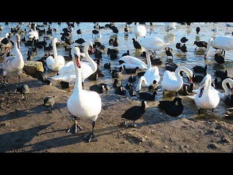 Лебеди и утки Евпатории