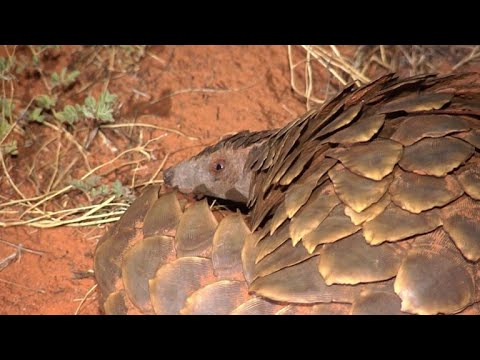 Researchers in S.Africa look at pangolins and climate change