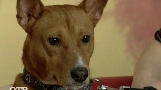 Знакомство с питомцами: африканская нелающая собака басенджи (24.12.15)