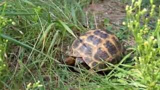 Среднеазиатская черепаха. Уход, кормление, содержание.
