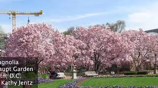 Plant Profile: Saucer Magnolias