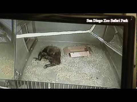 Mother gorilla holds her baby for the first time