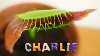 Anchovies for Charlie the Venus Flytrap
