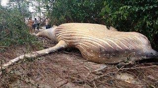 Chuyện lạ: Cá voi khổng lồ xuất hiện trong rừng khiến ai cũng há hốc mồm vì ngạc nhiên