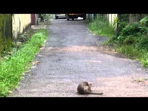 Mongoose Mating