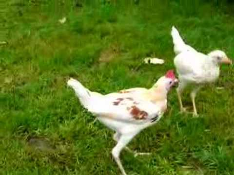 Modern game bantams chickens on stilts youtube