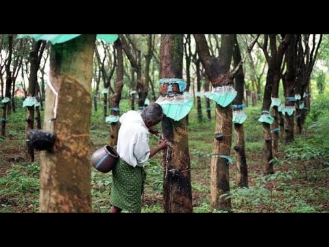 thesis on rubber cultivation Thesis details full screen: title 22 district-wise cultivation of natural rubber in kerala 25 rubber producers.
