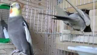 что умеют кореллы(небольшой видеоряд о том, чем занимаются мои попугаи породы корелла http://popugayko.ru/dressirovka-korelly/kak-priruchit-korellu как..., 2014-08-14T07:38:40.000Z)