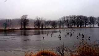 Geese and Ducks Migration, Circus on Ice, Cedar Rapids Iowa.