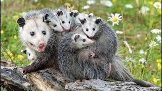 Опоссум - Opossum (Энциклопедия животных)