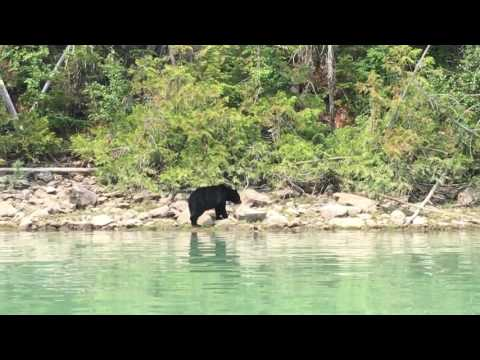 Bär am Blue River in British Columbia