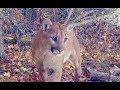 Mountain Lion Roar