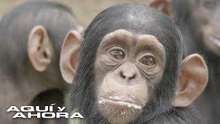 Trabajadores de un santuario dicen que los chimpancés son capaces de elegir a sus humanos favoritos
