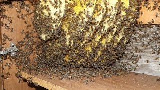 Bees in House: Mid summer Update