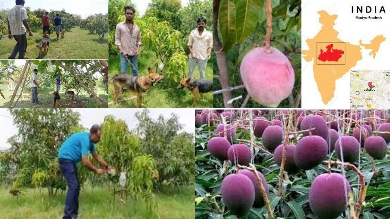 MP couple deploy 4 guards, 6 dogs to guard Miyazaki mangoes that sell for ₹2.7 lakh/kg