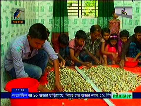 Koel Pakhi Chash, Norshingdi,Maasranga TV News, Report   Badrul Amin ChoudhuriG Collected By Jahangi