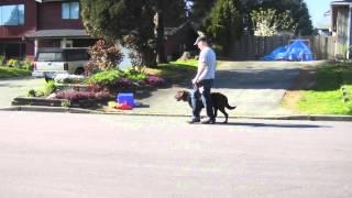 Guinness- Extreme Leash Reactivity Lesson 1