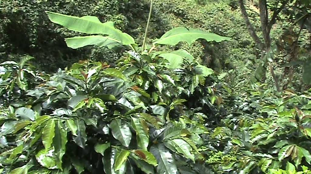 Unas plantas de Catimor, durante mi visita a Nariño (Catimor planten ...