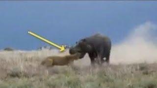 Бегемот уничтожает Льва, Носорог, Буффало, Дикие Собаки и Люди