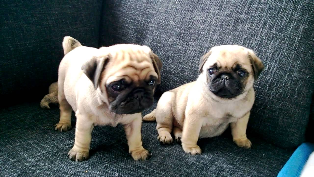 mops valper i bergen cute puppie pugs in norway youtube. Black Bedroom Furniture Sets. Home Design Ideas
