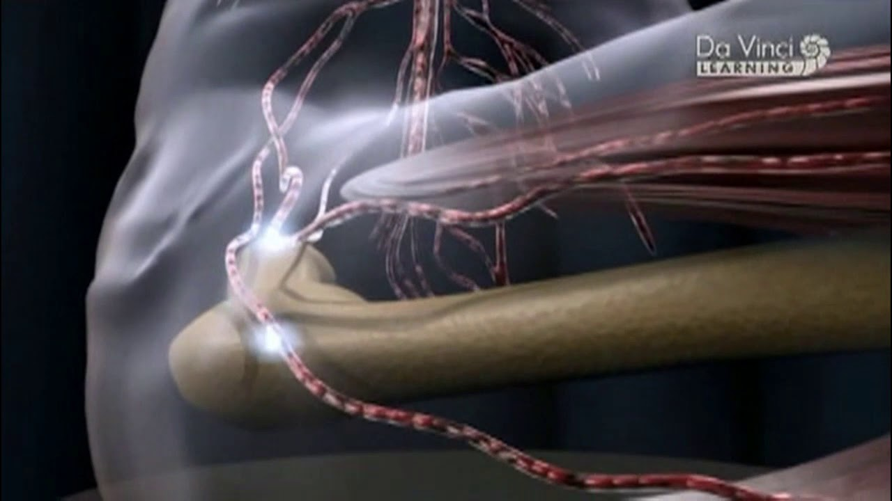 korbféreg idegrendszer