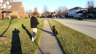 "Gabby On Leash Obedience 12-26-14 ""protection Dogs For Sale"""