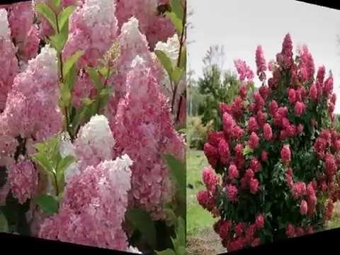 Гортензия садовая многоцветное чудо посадка и уход