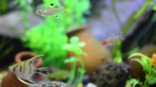 community fish tank 8 months old angels rummy nose pristella and blue tetra one danio