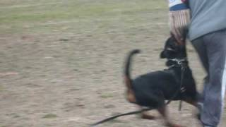 Kingston 12 Months - Schutzhund Training (obedience & Protection Clips)