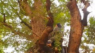 ผึ้งเดือน๕/๕ค่ำ// Cortar a abelha na árvore alta
