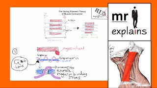 mr i explains the sliding filament theory of muscle contraction for a level i b