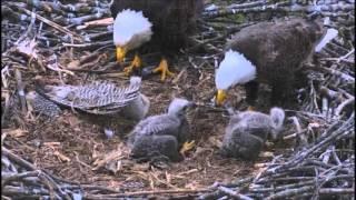 decorah north nest 5 9 2016 7 52 am cdt all three ate and dnn 3 had a one on one feeding