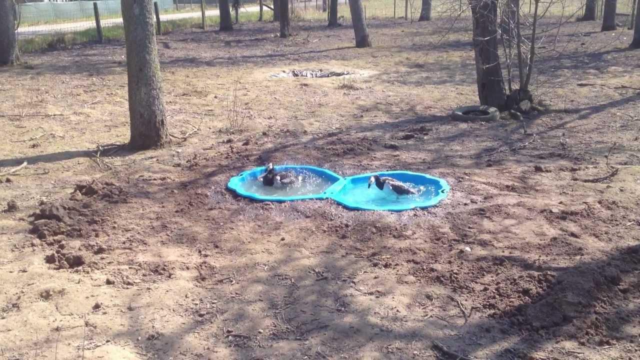 Fabriquer un bassin pour canard - Bassin canard d ornement pau ...