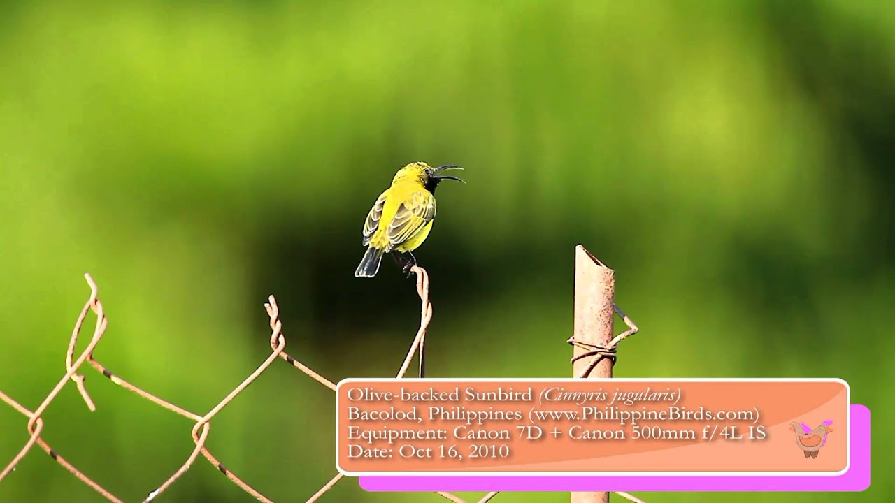 Olive Backed Sunbird (Cinnyris jugularis): Bird call recorded