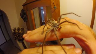 How to handle a Huntsman Spider - by Brennan Hatton thumbnail
