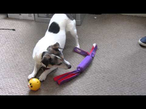 milo-the-jack-russell-playing-with-toys