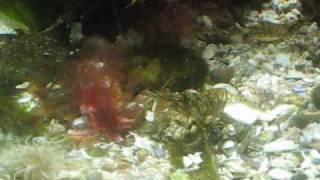 Cold Saltwater Aquarium - Shrimp And Sea Anemone