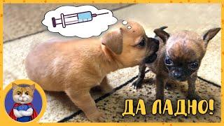 Первая прививка щенкам  Как всё сделать правильно?