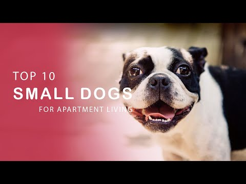 The 10 Best Small Dog Breeds for Apartment Living
