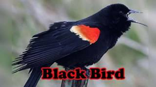 Video Masteran Burung Black Bird Versi 1 download MP3, 3GP, MP4, WEBM, AVI, FLV Juli 2018
