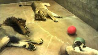 Lazy lion pride plays ball together