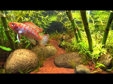 what-fish-is-this?-bamboo-forest-aquascape-without-co2,-filter-nor-fertilizer-1-month