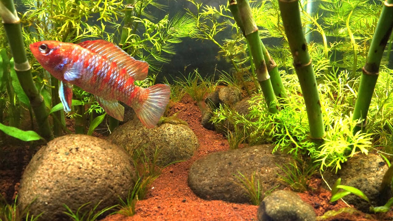 What Fish Is This Bamboo Forest Aquascape Without Co2 Filter Nor Fertilizer 1 Month Youtube