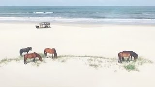 Outer Banks Wild Horses roaming wild and free on the beaches of Corolla, NC
