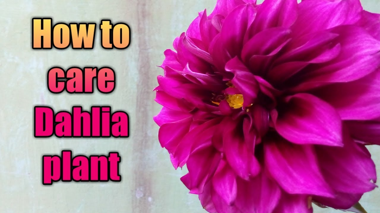 How To Care Dahlia Plant In Hindi Youtube