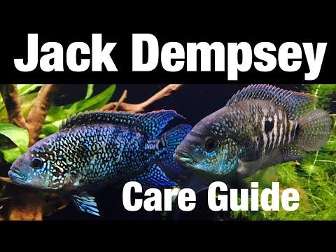 Jack Dempsey Cichlid Tank Care