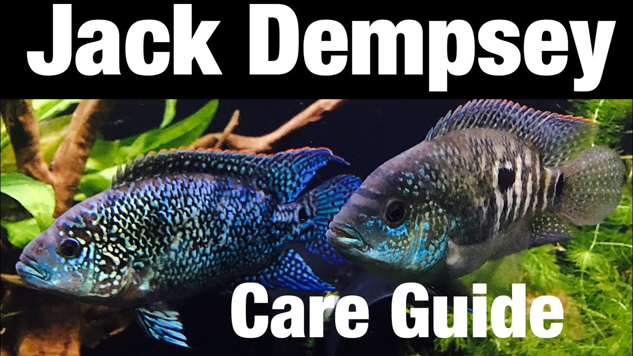 Jack Dempsey Cichlid Care, Tank Mates, Full Grown
