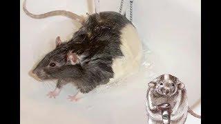 Можно ли купать крыс