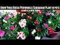 How to Grow Vinca Rosea/Periwinkle/Sadabahar Plant in Pots & Care Tips